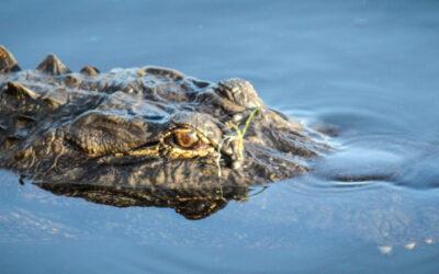 Alligator Tour Airboat Rides