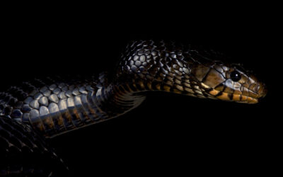 Fun Facts about the Eastern Indigo Snake