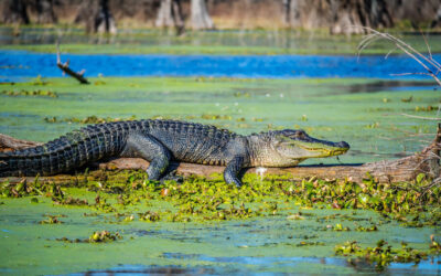 Gators and Crocs You Might See on an Alligator Airboat Tour in Fort Lauderdale